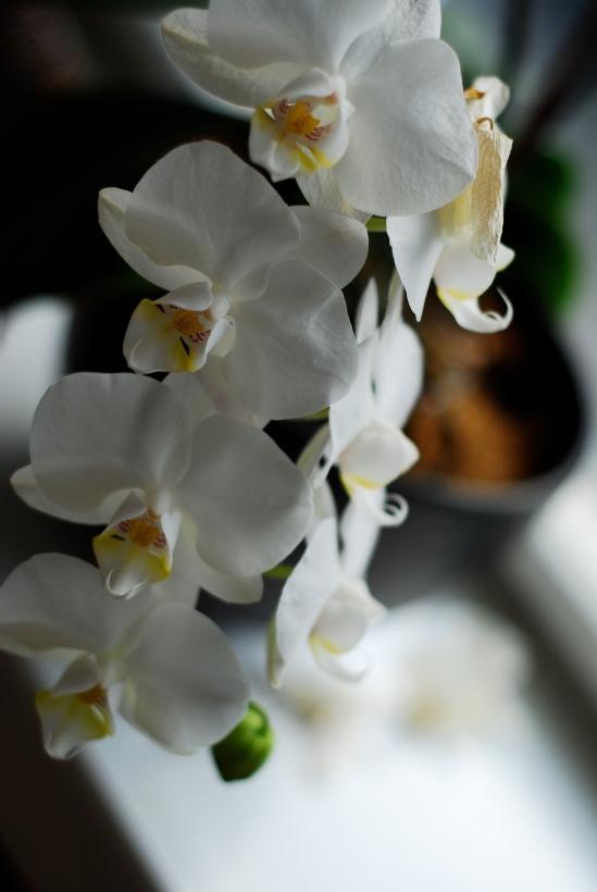 Orchid Love - Copyright LosAngelas