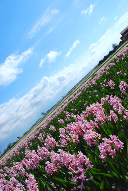 Dutch flower fields - Copyright @ LosAngelas