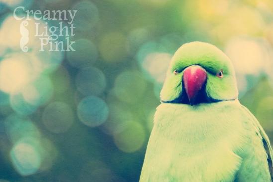 rose ringed parakeet - green