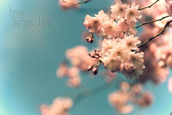 cherry blossom amstelveen Blog 2