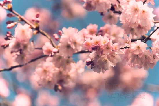 cherry blossom amstelveen Blog 3