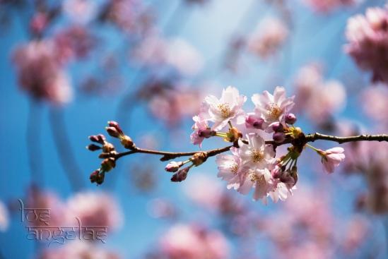 cherry blossom amstelveen blog 6